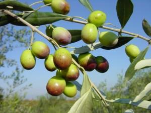 olivo tursi