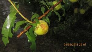 frutto colpito
